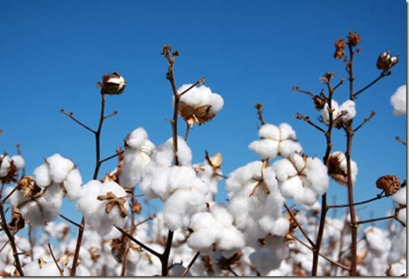El algodón ecológico se hace un hueco en el mercado