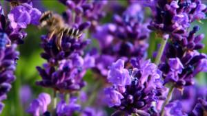 lavanda abeja